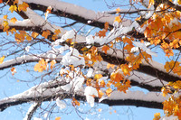 "October 30, 2011 - Snow on the leaves in Hopkinton.Photo by Nancy ""Punky"" Drawe"