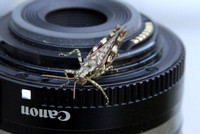 Sept 29, 2011 - This grasshopper is trying to figure out how to attach a lens to a camera.© Dick Bartlett