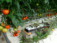 Hydroponic tomatoes on the vine.