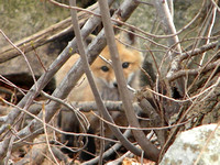 A mother fox raises five pups near a Hopkinton home.