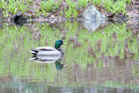 This duck was enjoying the high water in a pond on Franklin Road on March 31st .  Photo by Dick Bartlett
